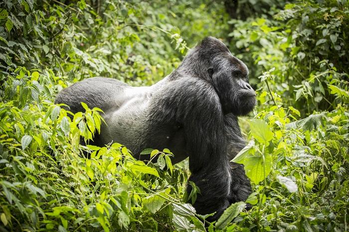 11 Virunga