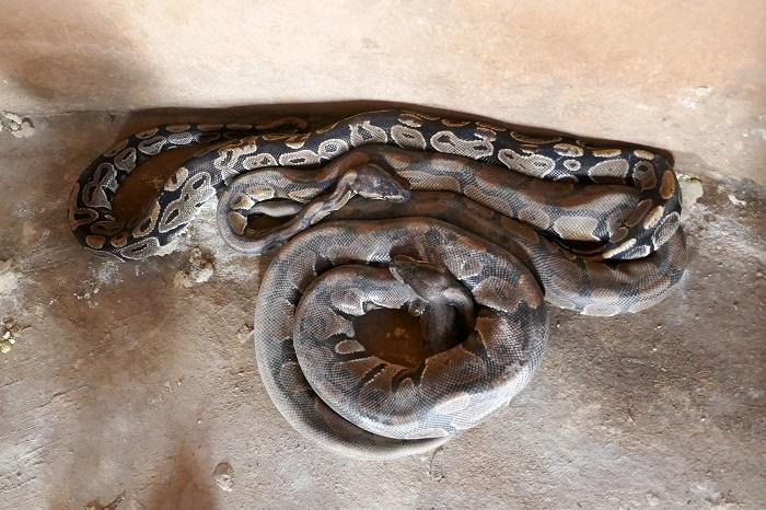 4 Pythons Benin