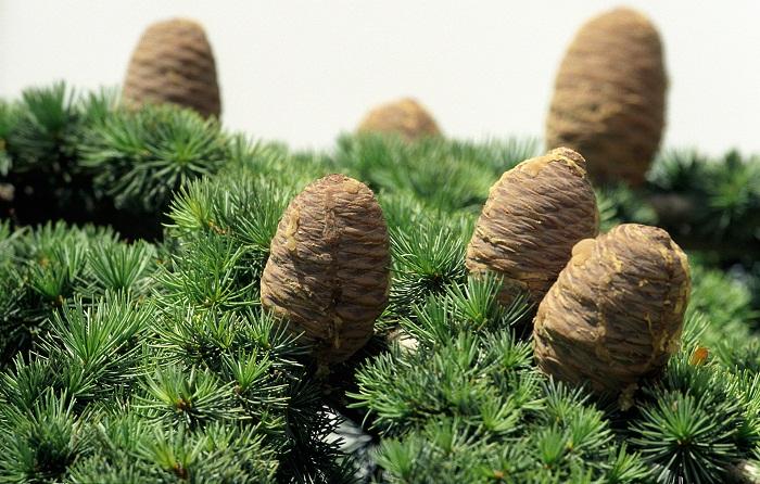 5 Cedars God