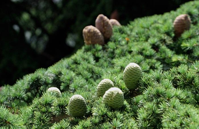 6 Cedars God