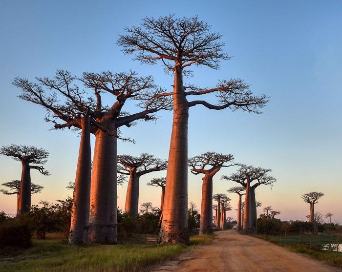 1 Baobabs