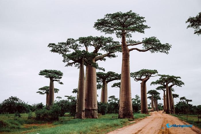 10 Baobabs