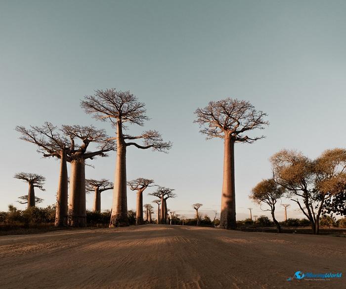 11 Baobabs