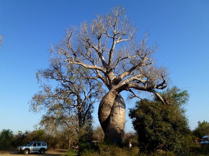 12 Baobabs