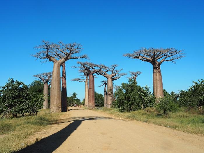 3 Baobabs