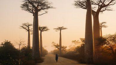 4 Baobabs