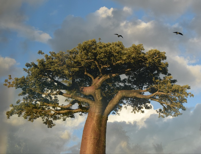 6 Baobabs