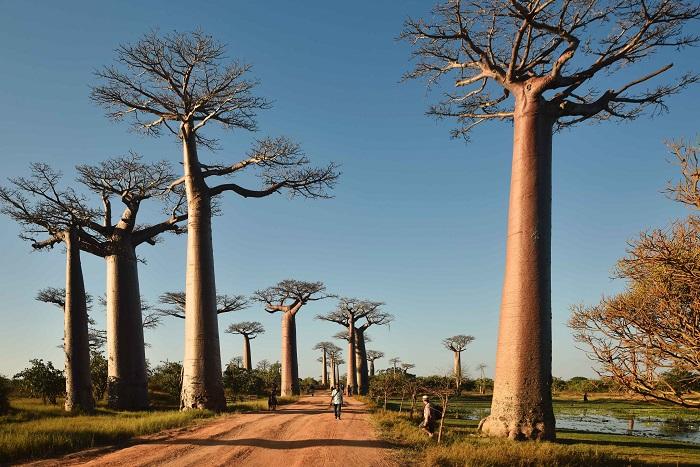 8 Baobabs
